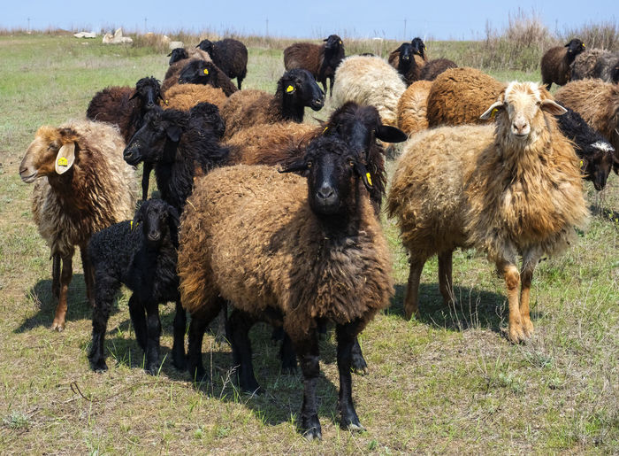 Sheep Domestic Animals Mammal Animal Themes Group Of Animals Animal Livestock Field Pets Land Domestic Vertebrate Grass Nature Day Large Group Of Animals Landscape No People Herbivorous Agriculture Outdoors Herd