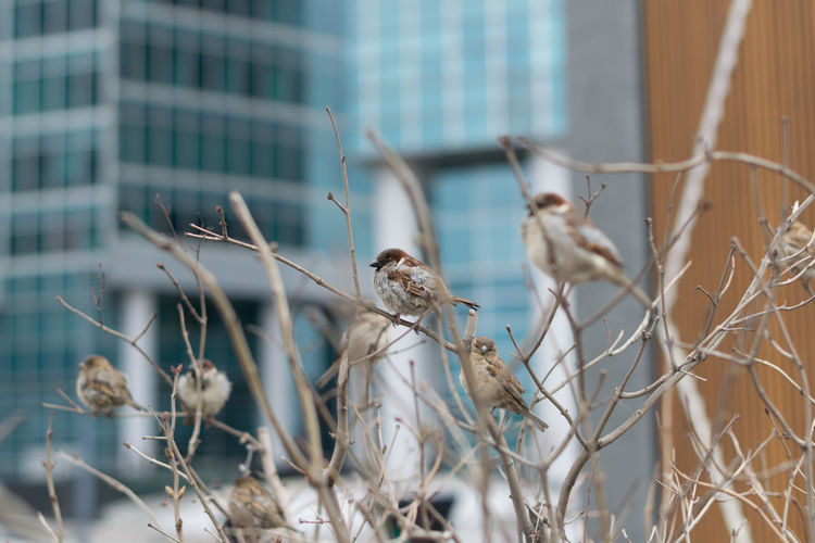 Close-up of birds perching on bare tree against building in city