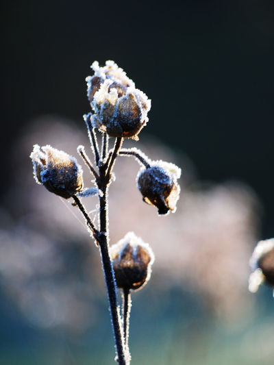 Frozen 1 Close-up Plant Focus On Foreground Nature No People Beauty In Nature Plant Stem Flower Fragility Flowering Plant Outdoors Bud Freshness Frozen