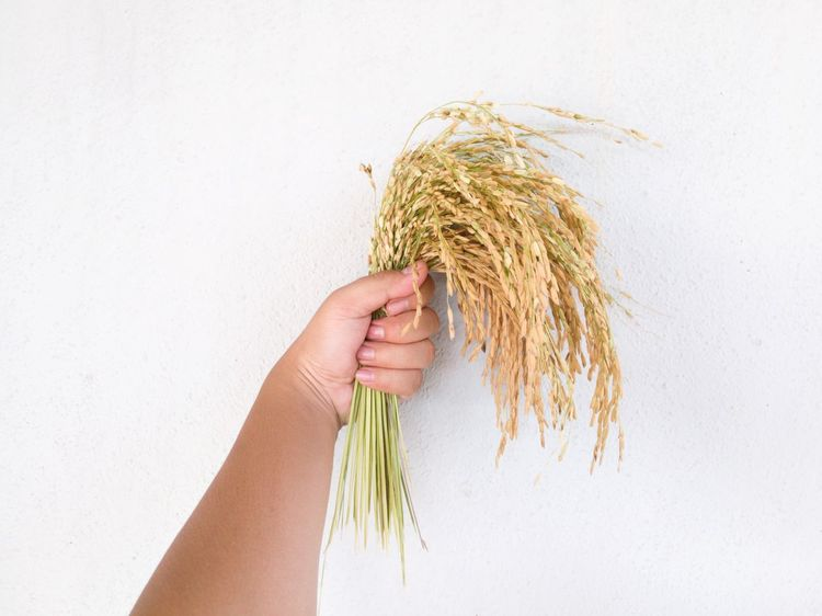 Paddy harvest time Human Hand Cereal Plant Straw Agriculture Close-up Lifestyles Farmer Freshness Grass Farmer Farm Worker Agriculture Backgrounds Honor 8 Huaweiphotography Rural Scene Freshness Nature Floral Huawei Rice - Cereal Plant Rice Paddy Paddy Malaysia Beauty In Nature