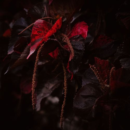 Close-up of red flower at night
