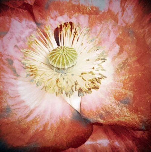 Poppy Poppy Flowers Vikki Bradley O'Keefe Art
