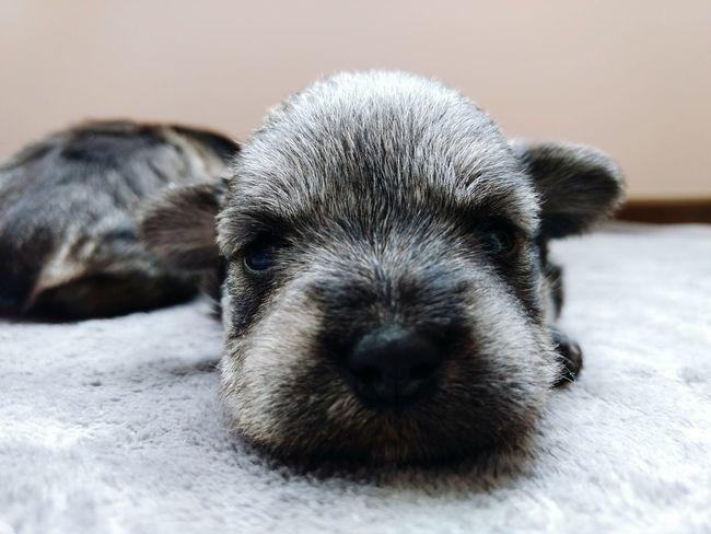 Cachorrita Samantha 🐾 One Animal Animal Themes Pets Dog Puppy Puppy Love Domestic Animals Close-up Puppy Face Puppies Of Eyeem Schnauzers Pet Portraits