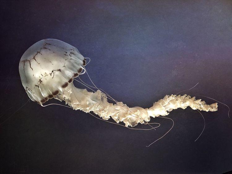 Jellyfish Animal Themes Underwater Aquarium Sea Life One Animal