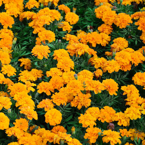 Marigold Flower Many Flowers Garden Nature Yellow Summer Orange Plant Season  Green Bloom Beautiful Background Natural Spring Blooming Floral Blossom Flora Petal Botany Colorful Beauty Bright Field Leaf Color Decoration Small Golden Gardening Ornamental Leaves Decorative Outdoor Bouquet Growing Marigolds Gold Petals Calendula Texture Vibrant Botanical American Tagetes Park