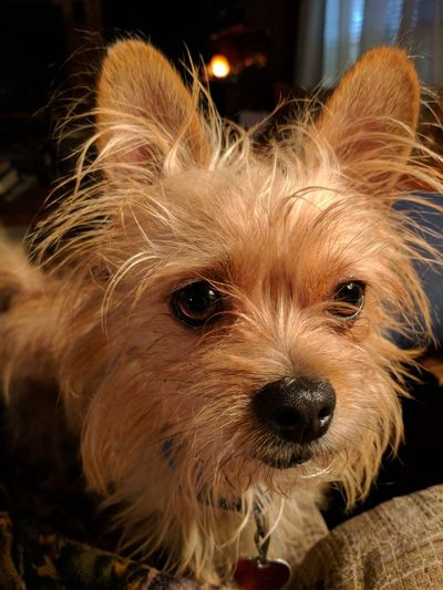 Animal Themes Dog Pets One Animal Mammal Domestic Animals Looking At Camera Portrait Close-up No People Night Indoors