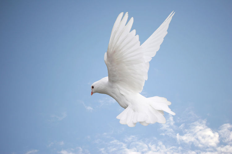 Beautiful white dove in flight, blue sky background Elegant Animal Themes Animal Wildlife Beauty In Nature Bird Day Dove Flying Low Angle View Mid-air Motion Nature No People One Animal Outdoors Peaceful Sky Spread Wings White Color