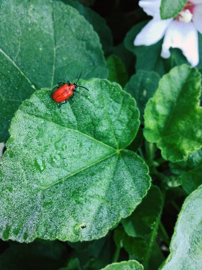 Naturelovers Insect Close-up Nature Photography Red Lilly Beetle Red Lily Beetle Insect Plant Part Invertebrate Leaf Animal Animal Themes Animal Wildlife Green Color Red Close-up Beetle Plant Nature Growth High Angle View