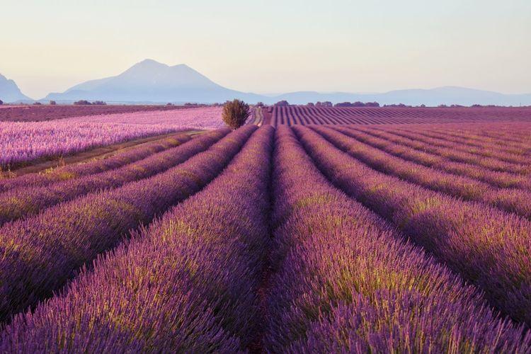 Full frame shot of lavender on field against sky