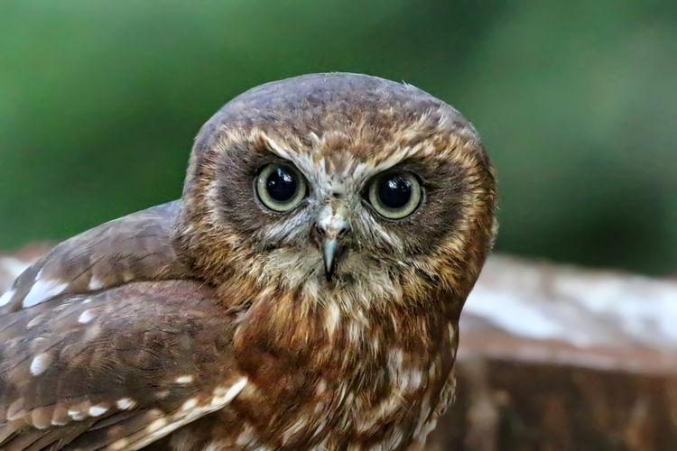 Portrait Of Boobook Owl