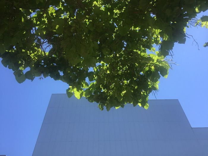Low Angle View Plant Architecture Tree Growth Nature Sky No People Building Exterior Building Plant Part Leaf Day Outdoors Sunlight Clear Sky Blue The Architect - 2019 EyeEm Awards