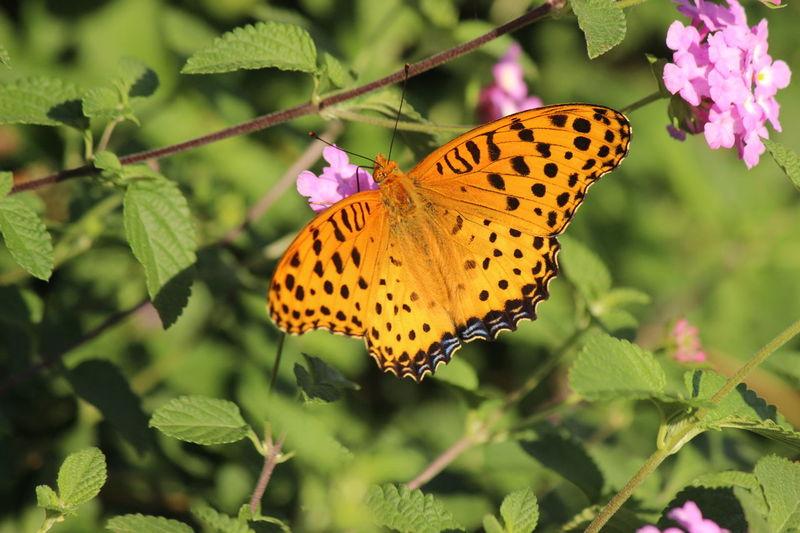 Indianfritillary チョウ ツマグロヒョウモン 蝶 蝶々