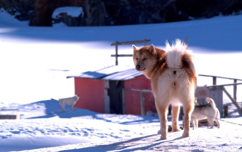 Sled Dogs Standing On Snow Covered Field During Sunny Day