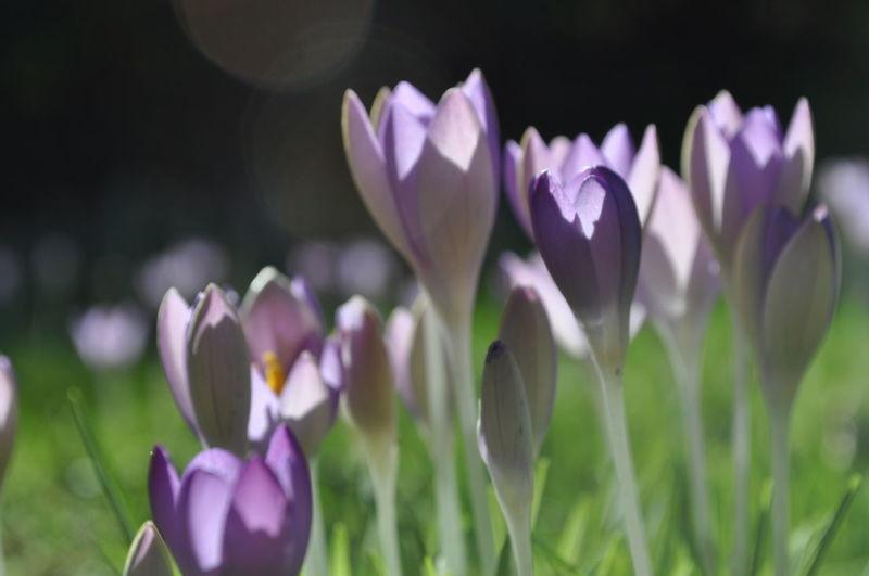 Close-up of purple crocuses blooming on field