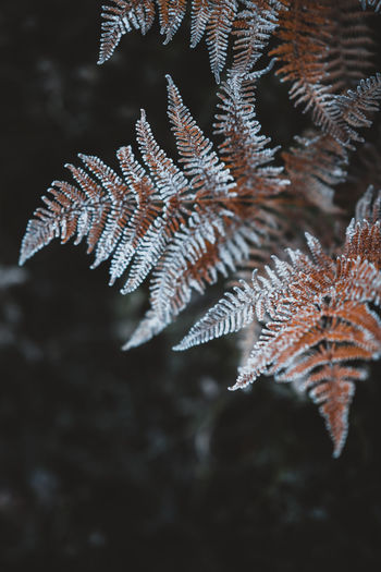 Close-up of frozen pine tree at night