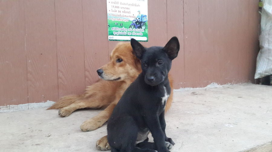 My bogs. Pets Retriever Puppy Cute Portrait Animal Themes