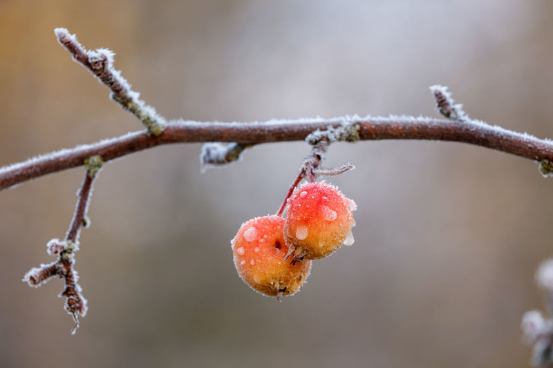 Frozen crab apple tree fruits in the morning after the first frosty night of the autumn. Autumn Finland Beauty In Nature Branch Close-up Cold Temperature Crab Apple Tree Day Focus On Foreground Food And Drink Freshness Frost Frozen Fruit Growth Nature No People Outdoors Plant Red Snow Tree Twig Weather Winter
