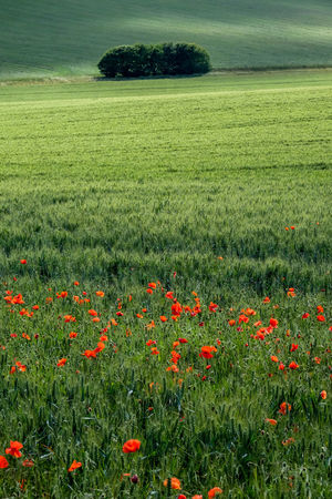 Poppies In Bloom Poppy Fields Tree Agriculture Beauty In Nature Copse Of Trees Day Environment Field Flower Flowering Plant Freshness Grass Green Color Growth Outdoors Plant Poppies  Poppies In Cereal Field Poppy Poppy Flowers Poppyflower Rural Scene Tranquil Scene Tranquility