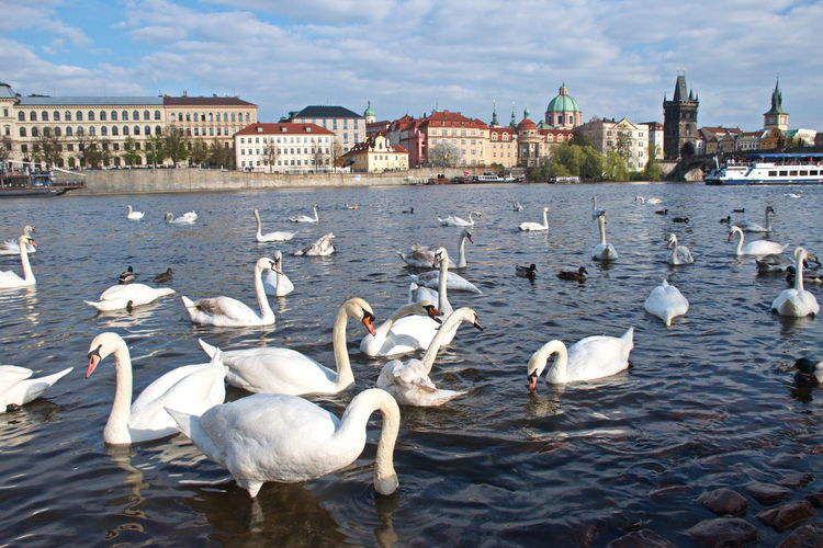 Building Exterior Water Architecture Built Structure Group Of Animals Bird Animal Wildlife Vertebrate Animal Animal Themes Animals In The Wild Large Group Of Animals City Day No People Building Swan White Color Swimming Floating On Water Floating Beauty In Nature Prague Czech Republic River
