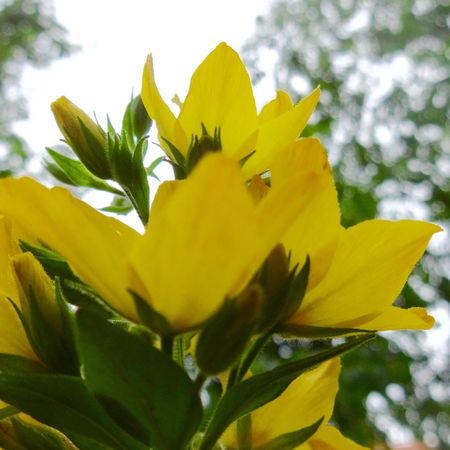 Beauty In Nature Blooming Blossom Botany Close-up Day Flower Flower Head Focus On Foreground Fragility Freshness Growth In Bloom Leaf Nature No People Outdoors Petal Plant Pollen Selective Focus Sky Stamen Stem Yellow
