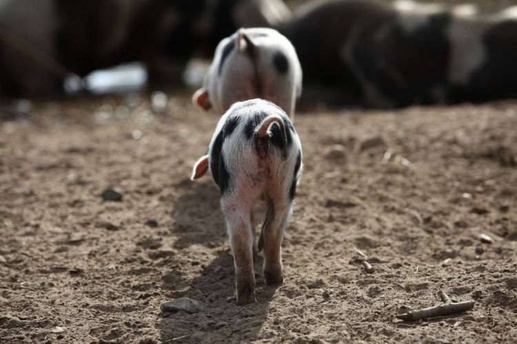 View of a pig on land