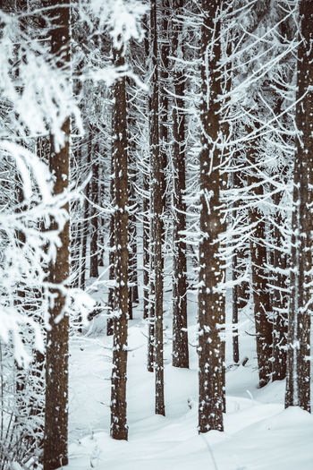 Snow Winter Cold Temperature Land Tree Forest Beauty In Nature Tranquility Nature Tranquil Scene Plant No People Covering Day White Color Frozen Non-urban Scene Scenics - Nature Environment WoodLand Outdoors Snowing Extreme Weather Coniferous Tree Pine Tree