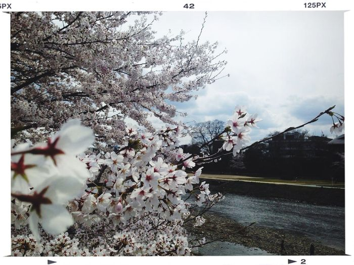 Kyoto Cherry Blossoms Water_collection