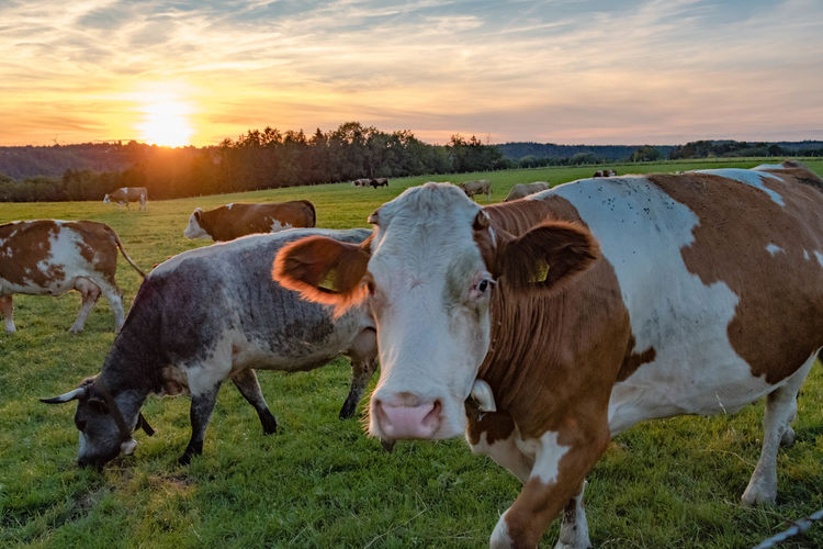 Cows on field during sunset