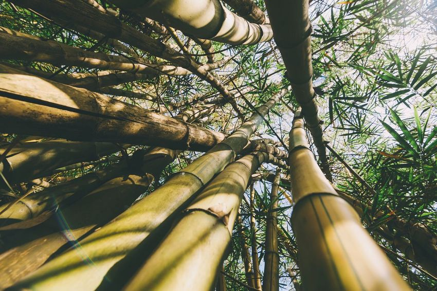 Learn & Shoot: Balancing Elements Check This Out Mumbai ASIA India Nature Photography Nature_collection Nature EyeEm Nature Lover Bamboo Forest Trees Lookingup Lookup The Great Outdoors With Adobe The Great Outdoors - 2016 EyeEm Awards Nature's Diversities Fine Art Photography