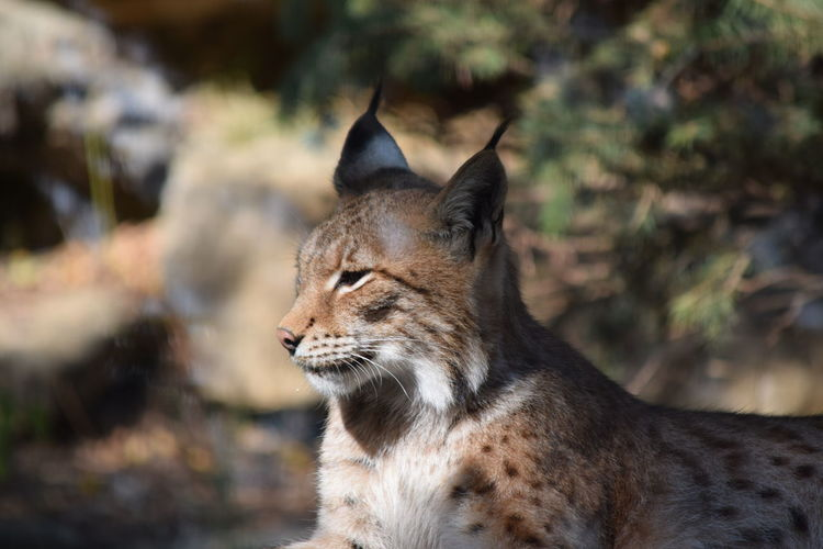 Side view of lynx