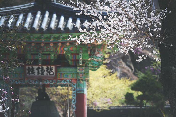 Korean Temple Cherry Blossoms Korean Bell 불암사의 봄