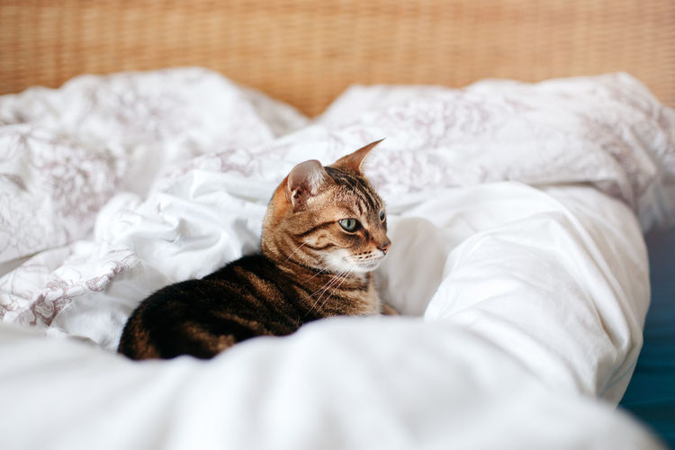 Beautiful pet cat lying on bed in bedroom at home. adorable furry kitten feline friend.