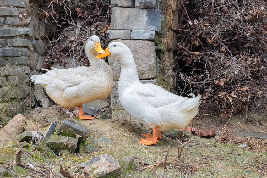 Animal Family Animal Themes Day Demestic Domestic Bird Goose Land Nature Two Animals Village