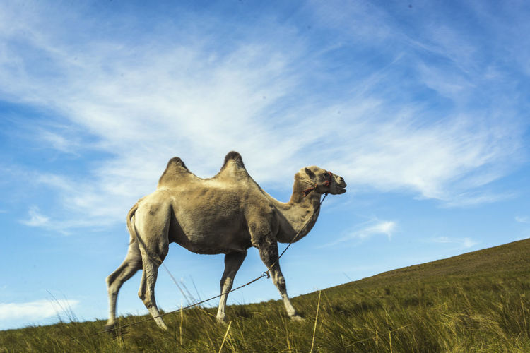 Low Angle View Of Camel On Field Against Sky