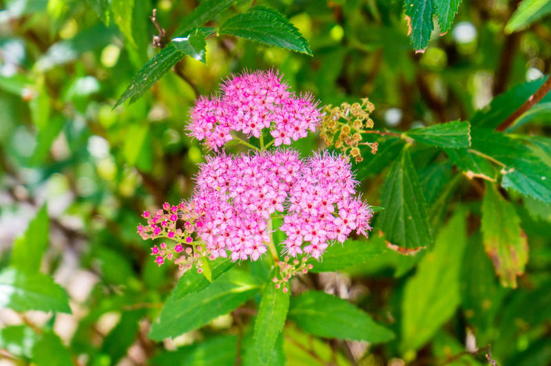 Nature Plants Summer Italy Tuscany Flower Flowering Plant Plant Freshness Vulnerability  Fragility Beauty In Nature Pink Color Growth Green Color Plant Part Close-up Leaf Day No People Outdoors Inflorescence Botany Selective Focus Flower Head Purple Lilac