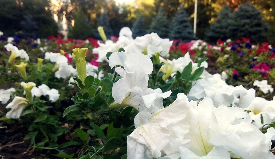 красота Природа Flower Beauty In Nature No People Nature Flower Head белые цветы White Flowers