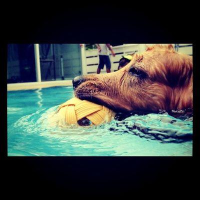 Good time Dog Golden Goldenretriever Petstagram Dogstagram Hoykong Dogslife Ifuckinglovemydog Instagramgoldens Retriever Ilovemydogs Dogswim Pool
