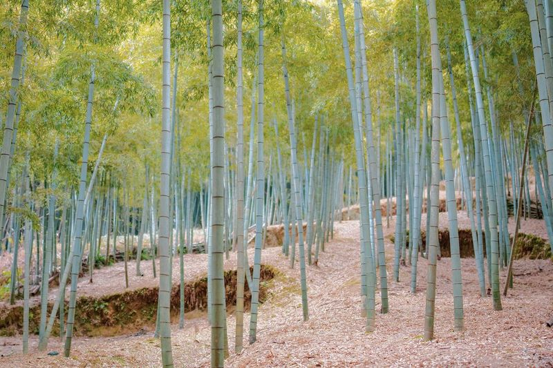 Bamboo Forest Bamboo - Plant Bamboo Grove Nature EyeEm Nature Lover Nature_collection Nature Photography Taking Photos EyeEm Best Shots EyeEm Gallery From My Point Of View The Week on EyeEm Plant Growth Tree Land Tranquility Nature Day Beauty In Nature Green Color Bamboo - Plant Bamboo Grove Bamboo Field Non-urban Scene Tranquil Scene