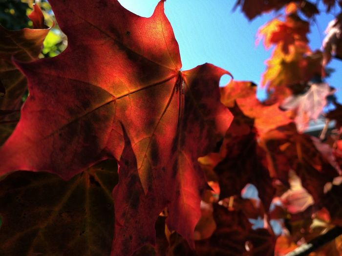 Leaf Autumn Red Nature Plant Outdoors No People Beauty In Nature Multi Colored Day Fragility Close-up Maple Leaves Maple Eyeemphotography EyeEm Taking Photos PhonePhotography Beauty In Nature Colours Of Autum Dramatic Colours Beauty Of Autumn Photography Eye4photography  Leaves Of Fall