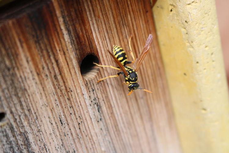 Macro shot of wasp on wood