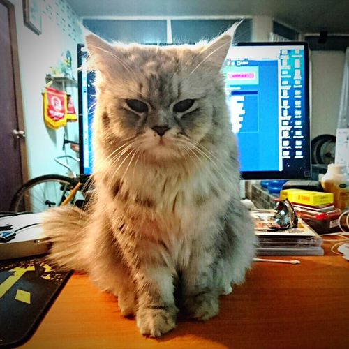 Cat Kitty 9tom Udonthani ThailandOnly Cat♡