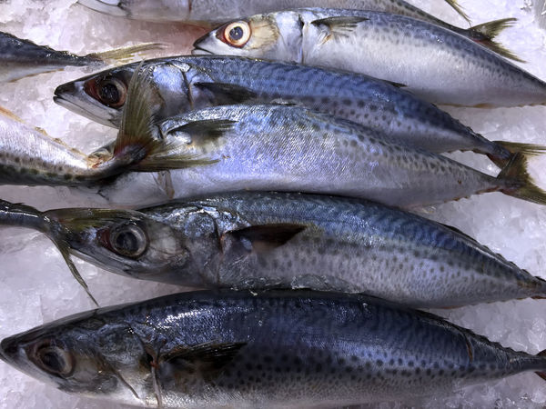 Frozen Saba Mackerel Fish in Pile of Ice Catch Of Fish Close-up Cold Temperature Day Fish Fish Market Food Food And Drink Freshness Healthy Eating Ice Indoors  Mackerel Mackerel Fish Market No People Raw Food Saba Seafood
