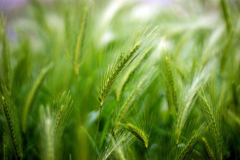 Plant Growth Agriculture Green Color Crop  Nature Cereal Plant Close-up Farm Land Selective Focus Wheat Grain Grainy Grains Sashalmi Green Wheat Wheat Field Wheather Landscape Beauty In Nature Corn