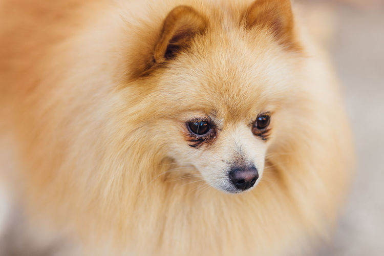 Alertness Animal Eye Animal Hair Animal Head  Brown Close-up Cute Dog Dog Portrait Mammal Outdoors Pets Pomeranian Portrait Puppy Selective Focus Market Reviewers' Top Picks