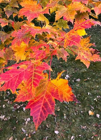 Autumn Leaf Beauty In Nature Nature Orange Color Maple Leaf No People Multi Colored Tree Branch Outdoors Forest Maple Environment Day