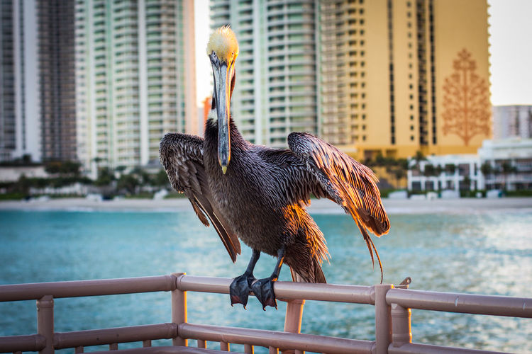 Pelican perching on railing against buildings during sunset