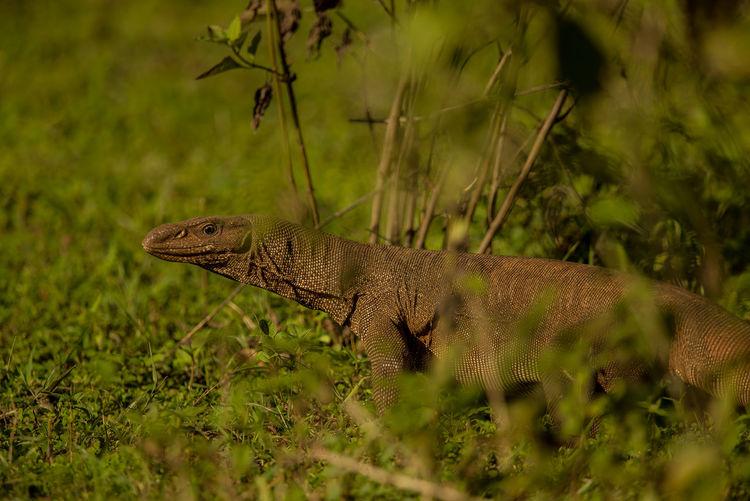 Komodo dragon amidst plants