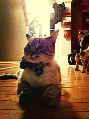 Bowtie Kitty Model