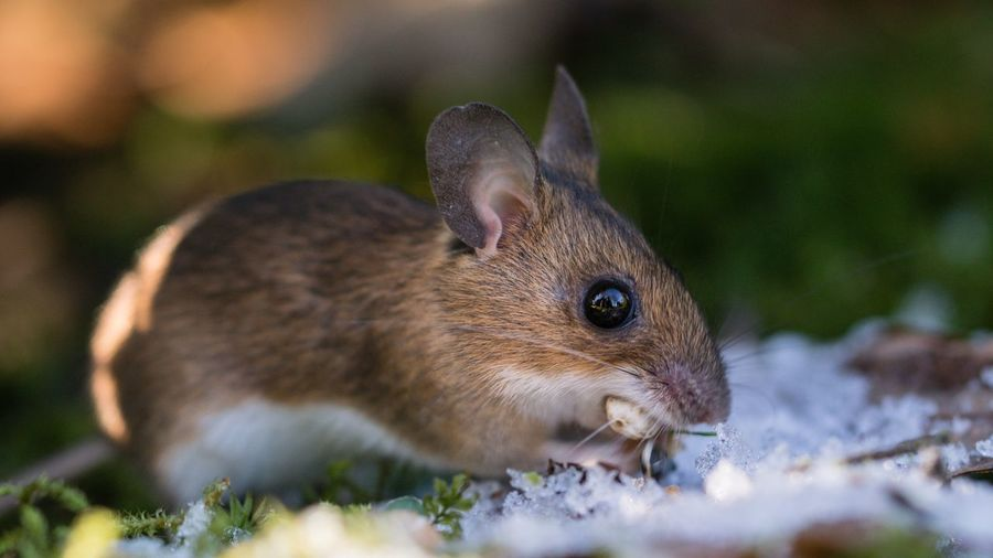 Yellow Necked Mouse Gelbhalsmaus Nagetier Mouse Animals In The Wild Winter Wildlife Close-up Focus On Foreground Schleswig-Holstein Macro Wildlife & Nature Flensburg Germany Adapted To The City Snow Animals