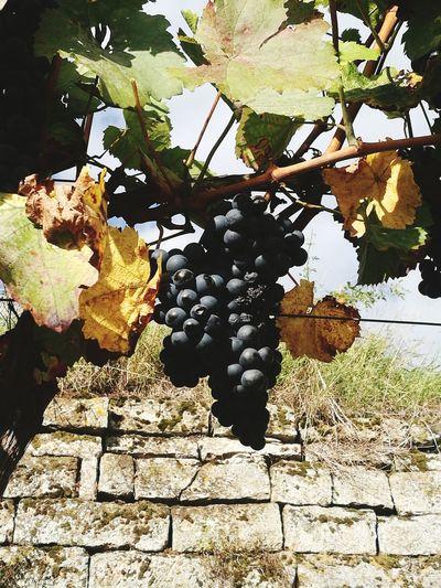 Wein Wein Trauben Grapes 🍇 Grapevine Grapes, Vineyard, Wine, Winery, Soft, Weintrauben